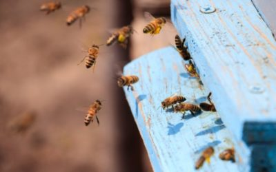 Projekt za očuvanje autohtonih podvrsta pčela